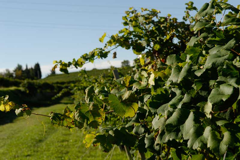 wildbacher-il-vitigno